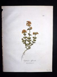 Woodville 1810 Hand Col Botanical Print. Euphrasia Officinalis. Eyebright 135